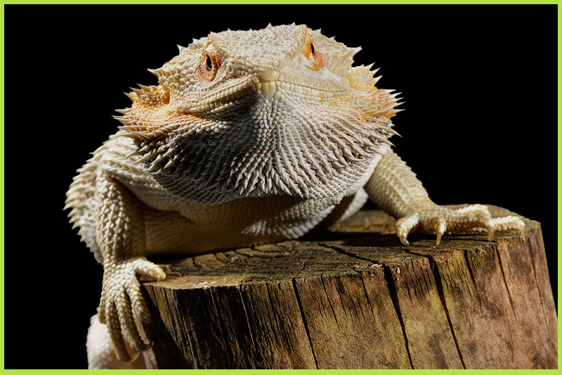 Bearded-Dragon1
