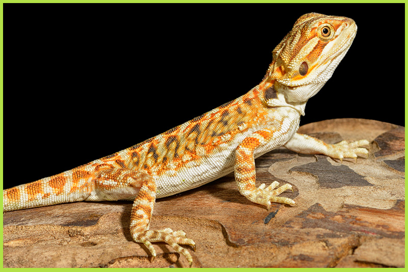 Bearded-Dragon2
