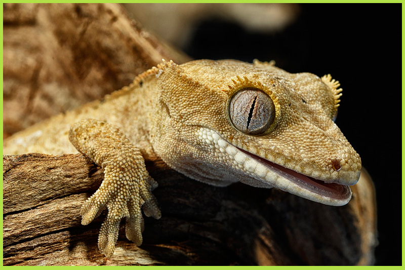 Gecko-crested1