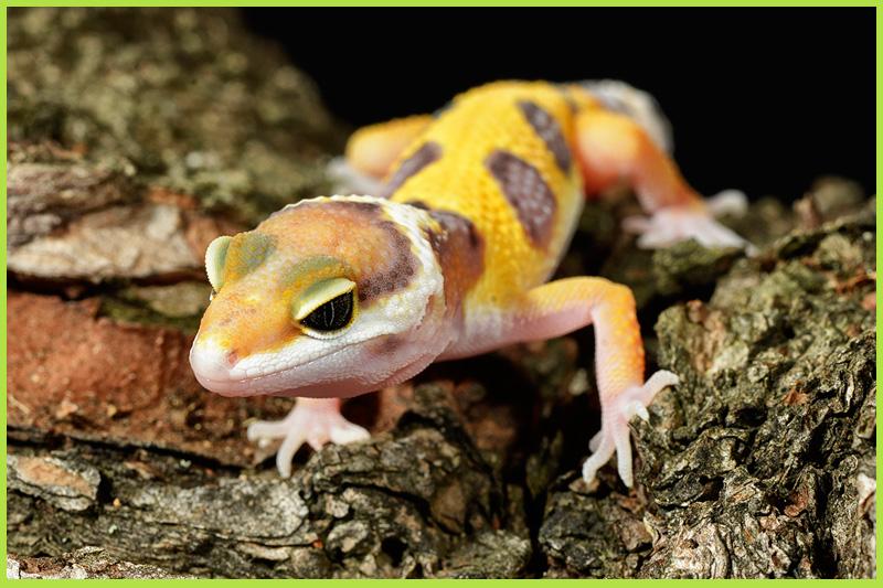 Gecko-leopard1