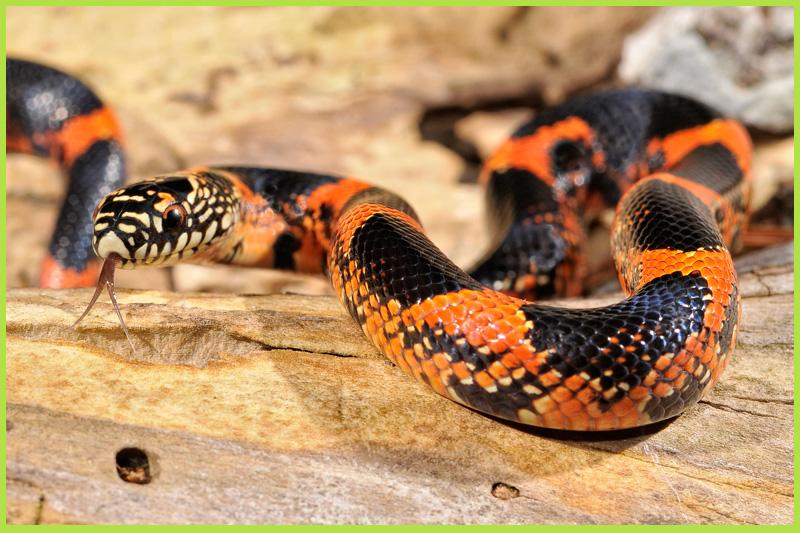Snake-King1