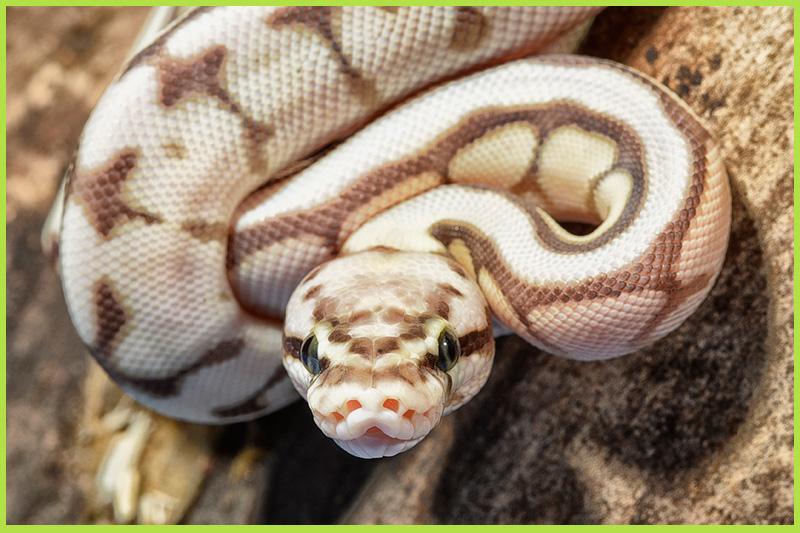 Snake-ball-python1