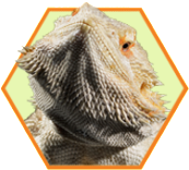 feeding-tips_bearded-dragon_23